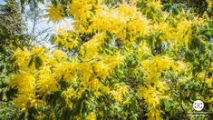 Digital Product Thumbnail - Yellow Flower of Mimosa Tree Blossom in Spring in Madrid Spring Pictures, Flower Pictures, Spring Photography, Top Travel Destinations, Travel Images, Yellow Flowers, Madrid, Bloom, Leaves