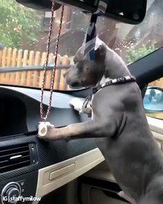 Pitbull Noir, Black Pitbull, Merle Pitbull, Cute Little Animals, Cute Funny Animals, Funny Dogs, Funny Cute, Cute Puppy Videos, Cute Animal Videos