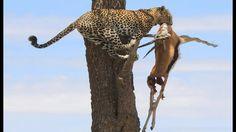 MUST SEE!Leopard Hunting Impala   Leopard Jumps From Tall Tree To Ambush Prey . animal hunt !! https://youtu.be/BvCNckrAeWM