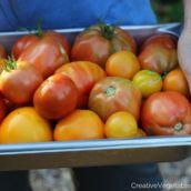 Creative Vegetable Gardener:Ways to Prevent Tomato Disease in Your Garden - Creative Vegetable Gardener Tomato Trellis, Tomato Cages, Tomato Garden, Vegetable Garden, Garden Plants, Tomato Plant Care, Pruning Tomato Plants, Growing Tomatoes, Growing Herbs