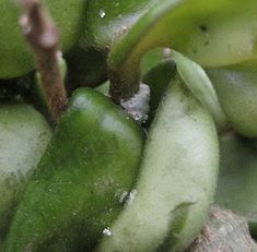 How to identify and get rid of mealy bugs on house plants