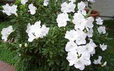 White Alaska Azalea