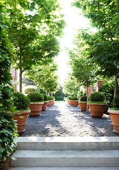 ~potted boxwoods