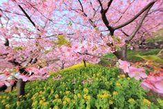 cherry blossom computer wallpaper backgrounds