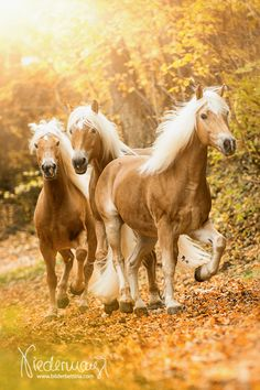 Haflinger. Fotografie Bettina Niedermayr