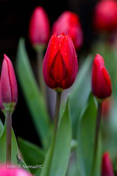Tulips by Nomad@Live