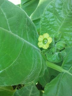 Nicotiana rustica to make pesticides