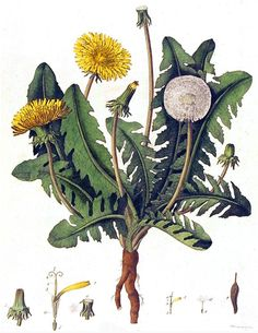 Dandelion | Powerful healing properties; spagyrically, especially useful for clearing repressed anger (usually from childhood), which is often stored in the liver & gall bladder