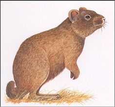 Sardinian pika, now extinct