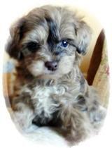Meet the Real Life Teddy Bear Puppy---Habibi Bears from www.habibibears.com