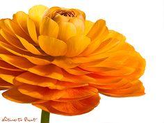 Blumenbild-Kunstdruck und Leinwandbild mit oranger Ranunkel-Blüte
