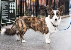 """Fergus Cardigan Welsh Corgi (7 y/o) Bleecker & Hudson St. New York NY  """"He's a rescue and still acts kind of sketchy on the street."""" by: @thedogist"""