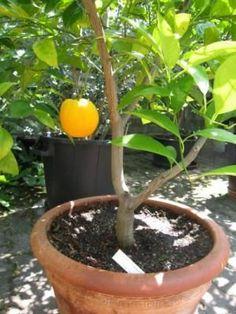 Orangen züchten und anbauen | Pflanzen im Gewächshaus, im Garten und auf dem Balkon