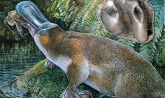 An artist's impression of the extinct platypus, which was one metre long and lived up to 15m years ago. Inset: scientists found the tooth em...