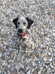 LOL, totally camo in this, craziness! #dog #dogs #dalmation