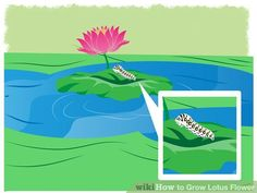 Image titled Grow Lotus Flower Step 20