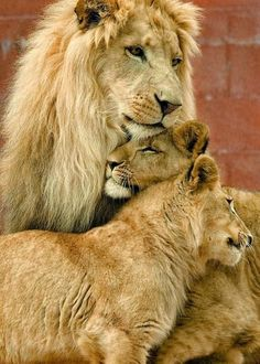 Lion Pictures, Animal Pictures, Kittens Cutest, Cute Cats, Lion Couple, Lion Family, Cute Lion, African Animals, Cute Baby Animals