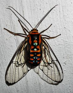 This wasp-like moth probably belongs to the Ctenuchidae family