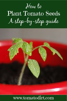 How to plant tomato seeds with Tomato Dirt Tomato Seedlings, Tomato Seeds, Tomato Plants, Growing Tomatoes In Containers, Growing Vegetables, Grow Tomatoes, Yellow Tomatoes, Natural Ecosystem, Sustainable Gardening