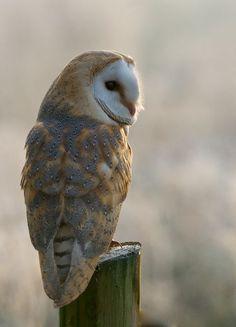 Owl by Matt Binstead