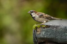 House sparrows like having friends nearby! Give them somewhere to nest: #homesfornature