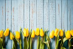 yellow-tulip-flowers-on-old-blue-wood-season-background-picture-id466863288 508×339 piksel