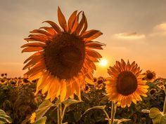 Light through sunflower