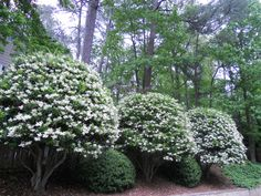 Ligustrum trees...grow great in Louisiana. Evergreen. White sweet smelling flowers, very tiny but in masses during spring time...Classic plant of the plantations...
