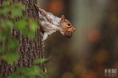 squirrel with nut:  How forests benefit from grey squirrels who forget where they put their nuts  Read more: http://www.mnn.com/earth-matters/animals/blogs/how-forests-benefit-from-grey-squirrels-who-forget-where-they-put-their#ixzz3GMGNWCYK