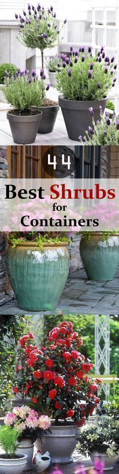 Check out 44 Best Shrubs for Containers. You might know some plants and some may surprise you but one thing is sure-- You'll like to have some of these shrubs right away in your container garden. #easygardenshrubs #LandscapeShrubs