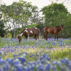 redwingjohnny:    Bluebonnet images - Horses in in a Field of Bluebonnets in Ennis, Texas  by RobGreebonPhoto