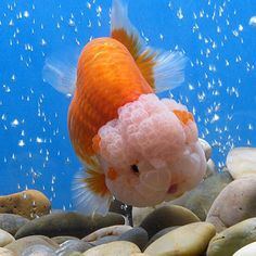Red and White Lionhead Lionhead Goldfish, Fantail Goldfish, Comet Goldfish, Goldfish Pond, Colorful Fish, Tropical Fish, Betta, Japanese Goldfish, Animals And Pets