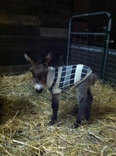 Just a baby donkey in a sweater. No biggie.