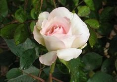 Sheer Bliss hybrid tea rose.  Need to get this one!  White with a hint of pink in the center.  Saw at Chance Rose Garden.