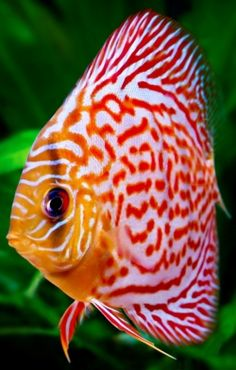 En una de mis acuarios habría una colonia de peces disco. El nombre del pez en el foto seria King Julian.