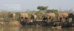 Elephants at Mkhaya, coming into drink after a thirsty day. African Holidays, Game Reserve, Where To Go, Elephants, Over The Years, Safari, Beautiful Places, Wildlife, Drink