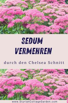 Mit dieser Schnitt Technik die Standhaftigkeit der Pflanzen erhöhen und die Blüte verlängern Chelsea, Shade Perennials, Plants, Chelsea Fc, Chelsea F.c.
