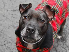 TO BE DESTROYED - 03/30/15 Manhattan Center   My name is FIFI. My Animal ID # is A1031349. ****$300 TO THE NEW HOPE RESCUE THAT PULLS**** I am a spayed female black and white pit bull mix. The shelter thinks I am about 5 YEARS old.  I came in the shelter as a OWNER SUR on 03/26/2015 https://www.facebook.com/photo.php?fbid=984839161528963