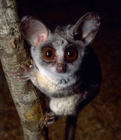 Also known as Galagos, bush babies are small, nocturnal primates native to Africa. They have large sensitive ears that dart around in different directions, similar to a bat's ears.