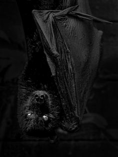 https://flic.kr/p/Ndzj9u | Vlad the Impaler transformed | Bats of the genus Pteropus, belonging to the megabat suborder, Megachiroptera, are the largest bats in the world. They are commonly known as the fruit bats or flying foxes among other colloquial names. They live in the tropics and subtropics of Asia (including the Indian subcontinent), Australia, East Africa, and a number of remote oceanic islands in both the Indian and Pacific Oceans. At least 60 extant species are in this genus.
