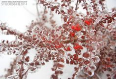 Frozen Berries Albion Falls, Landscape Photography, Berries, Frozen, Berry Fruits, Landscape Photos, Bury, Scenic Photography, Frozen Movie