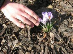 """na zajęciach z ogrodnictwa odbyło się kolejne spotkanie dotyczące ścieżki """"Uczymy innych"""". W trakcie  tych zajęć przygotowywaliśmy się do lekcji , na której będziemy uczyć innych:""""Jak przygotować ogród szkolny do wiosny"""". Ustaliliśmy następujące etapy naszej pracy: Wyjście do ogrodu, dobranie się parami, ustalenie zadań , ocenienie stanu roślin i ogródka, analiza dokonanych obserwacji. Floral, Flowers, Jewelry, Jewlery, Jewerly, Schmuck, Jewels, Jewelery, Royal Icing Flowers"""