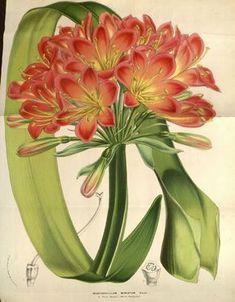 flore serres et jardins Europe - Flore serres et jardins d Europe - 9322 Imantophyllum miniatum - Gravures, illustrations, dessins, images