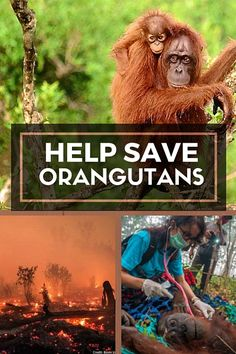 "Interview with International Animal Rescue's Karmele Sanchez || ""Our way of life in the west is directly impacting these orangutans. This palm industrially planted in Indonesia goes to western markets. We must change our way of life if we want to protect the environment. We must push the oil palm industry to stop forest destruction."" Ecotourism 