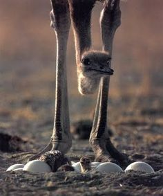 The ostrich - further proof God has a sense of humor.