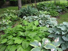 Hosta beds - gotta do this in the back yard.