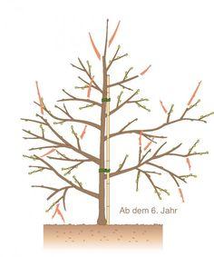 Obstbaum schneiden ab dem 6. Jahr