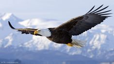 eagle bald flying bird wings hd widescreen wallpaper