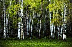 Title: Spring Aspens ~ Grand Mesa, Colorado   MATERIALS This listing is for one fine art photographic print. It is professionally printed with archival photographic inks and premium luster paper to ensure elegance and quality that will last through your natural lifetime. Each print is signed by me on the front either in the border or maybe part of the print on the front. You will see that some of my listings are shown with a virtual frame, so that you can see what your fine art print might…
