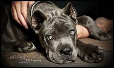 He is a 14 week old blue Cane Corso. Italian Cane Corso, Cane Corso Italian Mastiff, Cane Corso Mastiff, Cane Corso Puppies, Cane Corso Dog, Blue Cane Corso, Zoo Animals, Cute Animals, Big Dog Breeds